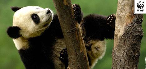 Panda Sayısı Artıyor!