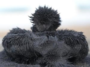 Ünye kumsallarının doğal sağlık cevheri: 'manyetik siyah kum'