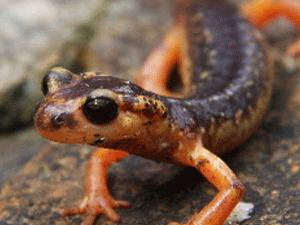 """Marmaris Semenderi (Lyciasalamandra flavimembis), Dünya Doğayı Koruma Birliği'nin yayınladığı Kırmızı Listede """"Tehdit altında (EN)"""" kategorisinde yer alıyor"""