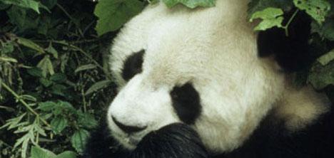 panda,pandalar,wwf-turkiye-genel-muduru-tolga-bastak,wwf-cin-doga-koruma-programlari-yoneticisi-xiaohai-liu,2.jpg